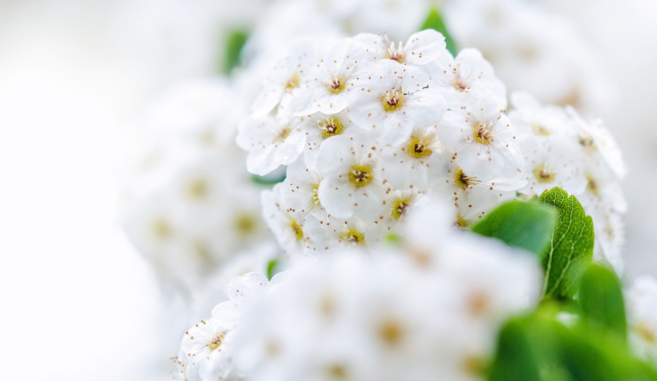 flower, white color, freshness, fragility, petal, close-up, growth, flower head, beauty in nature, focus on foreground, white, nature, selective focus, blooming, blossom, plant, pollen, stamen, in bloom, botany