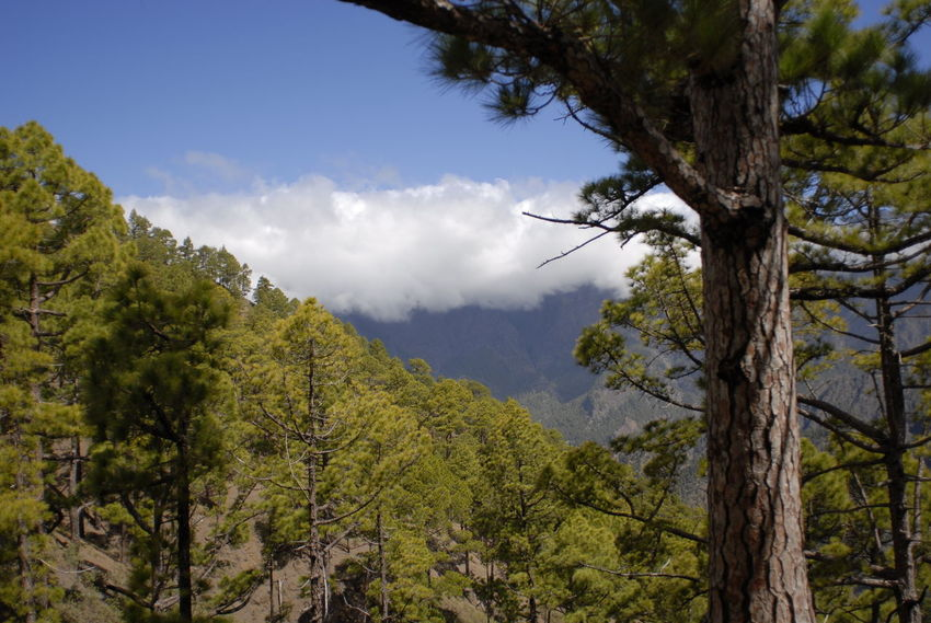 In the forest Canarias Canary Islands Green Green Color La Palma, Canarias Beauty In Nature Blue Blue Sky Clouds And Sky Day Forest Green Color Nature No People Outdoors Plant Scenics - Nature Sky Tranquil Scene Tranquility Tree