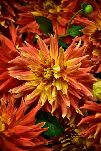 Dahlia Dahlia Flowers Dahlia Flower Background Backgrounds Flower Plant Flowering Plant Beauty In Nature Growth Fragility Vulnerability  Flower Head Petal Inflorescence Close-up Freshness Nature Full Frame Backgrounds No People Botany Day Orange Color Outdoors