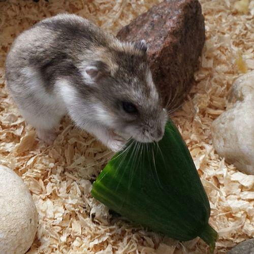 Greg lovs cucumber xxxxxxx Nefilian Xxxxxxx Hampster Cucumber Pet Qute Animals X