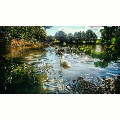 Swans... Swans Wildlifephotography Wildlife_perfection Wildlife_seekers Naturelovers Naturegram Derbyshiretimes Shipleypark Igersderbyshire Ig_britishisles Ukpotd CapturingBritain