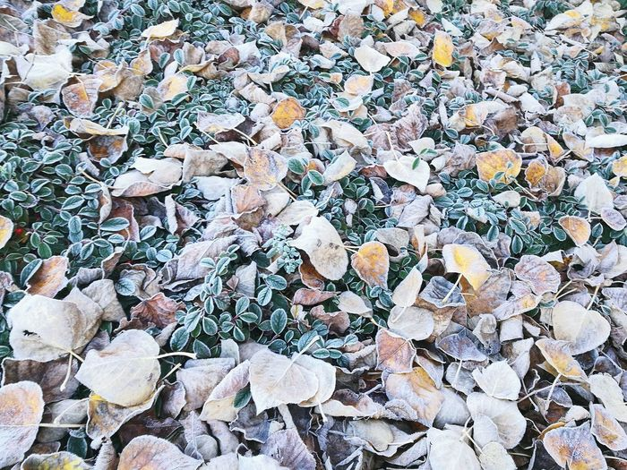 Crisp leaves frost Backgrounds Full Frame Close-up Textured  Rough