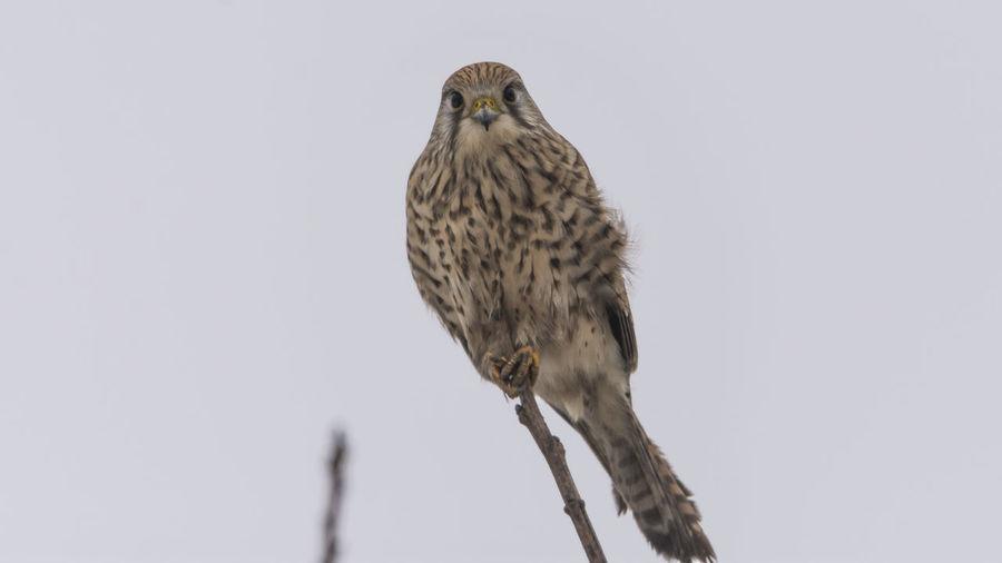 Close-up portrait of hawk on twig