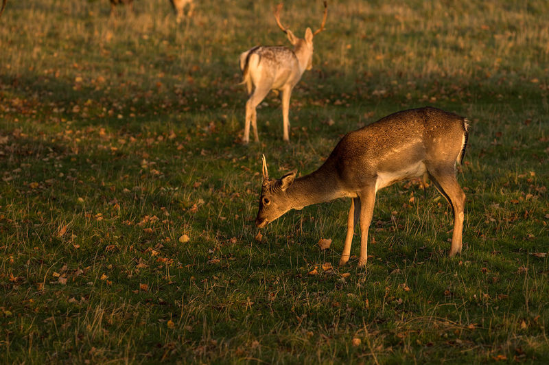 Herd of grassing Fallow Deer in an autumn field at golden hour. Animal Themes Animal Wildlife Animals In The Wild Antler Day Deer Fallow Deer Golden Hour Grass Grassing Mammal Nature No People One Animal Outdoors Stag Sundown Sunset