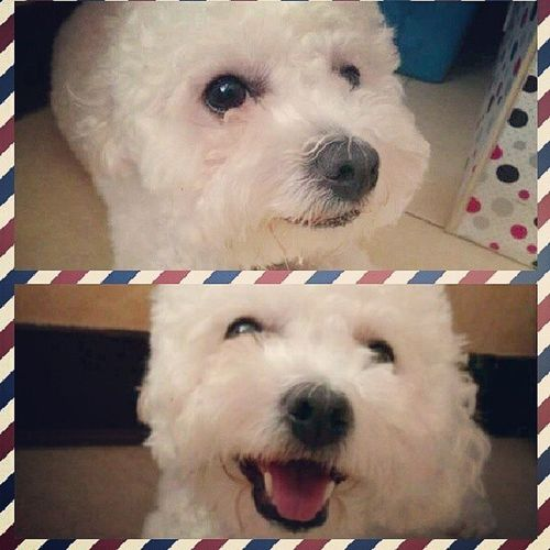 Happy Dog Bichon Bichonfrise Cute