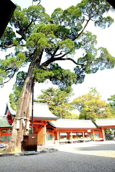 LongLife Tree Soul Alone Osaka,Japan Sumiyoshitaisha
