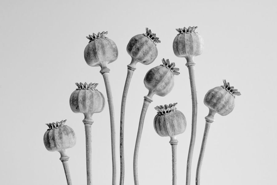 Poppy Head Study 2 Beauty In Nature Black & White Black And White Blackandwhite Blackandwhite Photography Close-up Fine Art Photography Flower Head Fragility Indoors  No People Poppies  Poppy Poppy Heads Poppyheads Seed Studio Shot White Background