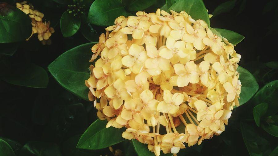 ดอกไม้ Nature Growth Freshness Leaf Fragility Plant Beauty In Nature Green Color No People Flower Outdoors Close-up Day Flower Head