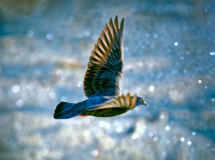 Pigeon flying over frozen river in winter