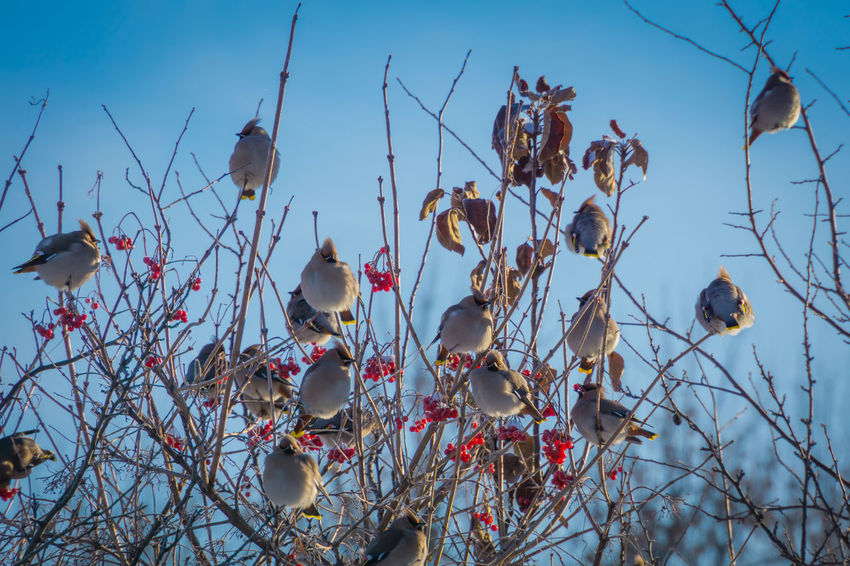 Wintertime Animal Animal Themes Animal Wildlife Animals In The Wild Bare Tree Beauty In Nature Bird Branch Day Flock Of Birds Focus On Foreground Group Of Animals Low Angle View Nature No People Outdoors Perching Plant Sky Tree Vertebrate Waxwing Waxwings