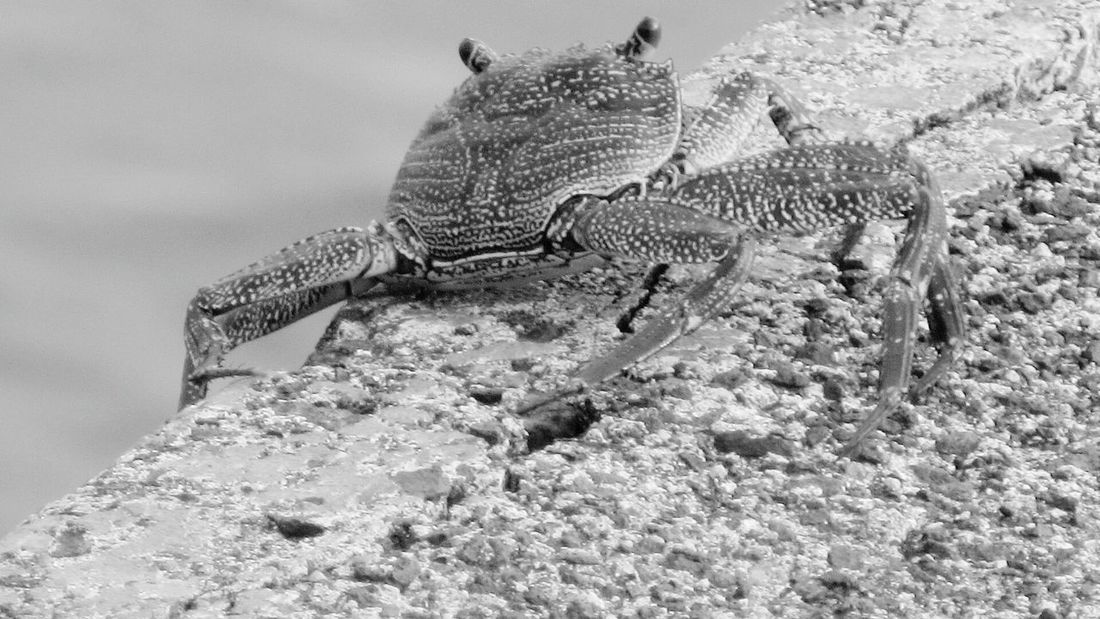 No People Animals In The Wild A'ama Rock Crab Close-up Lihue Hawai'i Aukini Kauai Hawaii Blackandwhite Photography