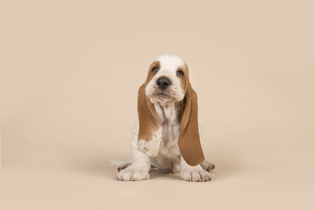 Cute sitting basset hound puppy with head held high on a creme background Looking At Camera Adorable Puppy Animal Themes Basset Basset Hound Basset Hound Puppy Basset Puppy Canine Colored Background Cream Colored Cute Cute Puppy Dog Pets Puppy Purebred Dog Sitting Studio Shot Young Animal