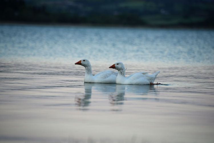 Water Animal Themes Animal Animal Wildlife Animals In The Wild Bird Vertebrate Swimming Swan Lake Group Of Animals Reflection Nature Waterfront Two Animals No People Day Selective Focus Outdoors Floating On Water