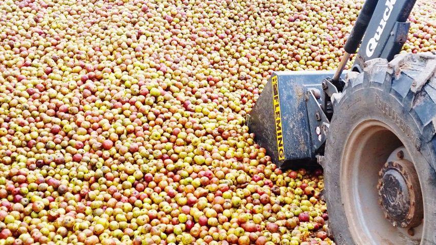 Food Agriculture Fruit Heap Freshness Crop  Abundance Healthy Eating Corn Occupation Farmer Day Apples Apple - Fruit Apple Cider Cidertime