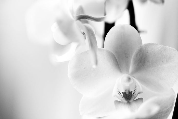 Flower Nature Softness Beauty In Nature Fragility Petal Freshness Close-up Plant Flower Head Indoors  Water No People Day Beauty Decorative Art Decoration Decorative Black And White Black & White Orchid Abstract Orchidporn Orchid Flowers