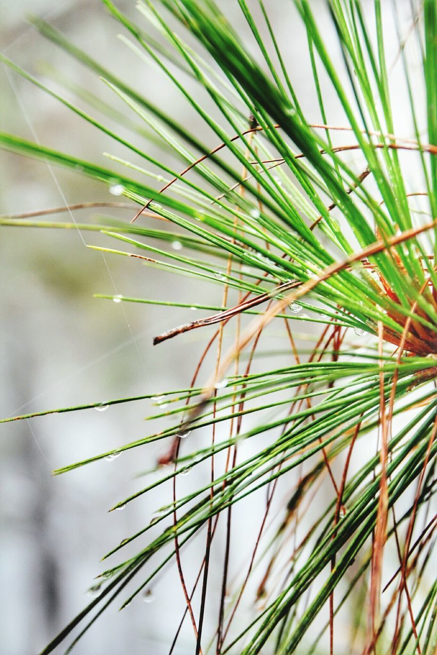 plant, growth, green color, close-up, day, focus on foreground, nature, beauty in nature, tree, no people, pine tree, selective focus, outdoors, needle - plant part, tranquility, fragility, coniferous tree, branch, vulnerability, freshness, spiky, blade of grass