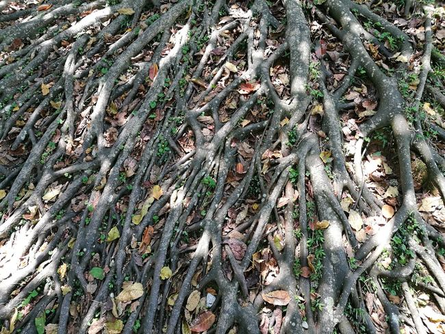 Okinawa Japan Tree Root Roots Backgrounds Full Frame Pattern Close-up Growing