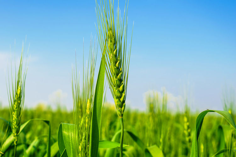 Plant Agriculture Growth Green Color Crop  Cereal Plant Farm Nature Landscape Field Beauty In Nature Rural Scene Land Close-up Sky No People Wheat Freshness Tranquility Day Outdoors Blade Of Grass