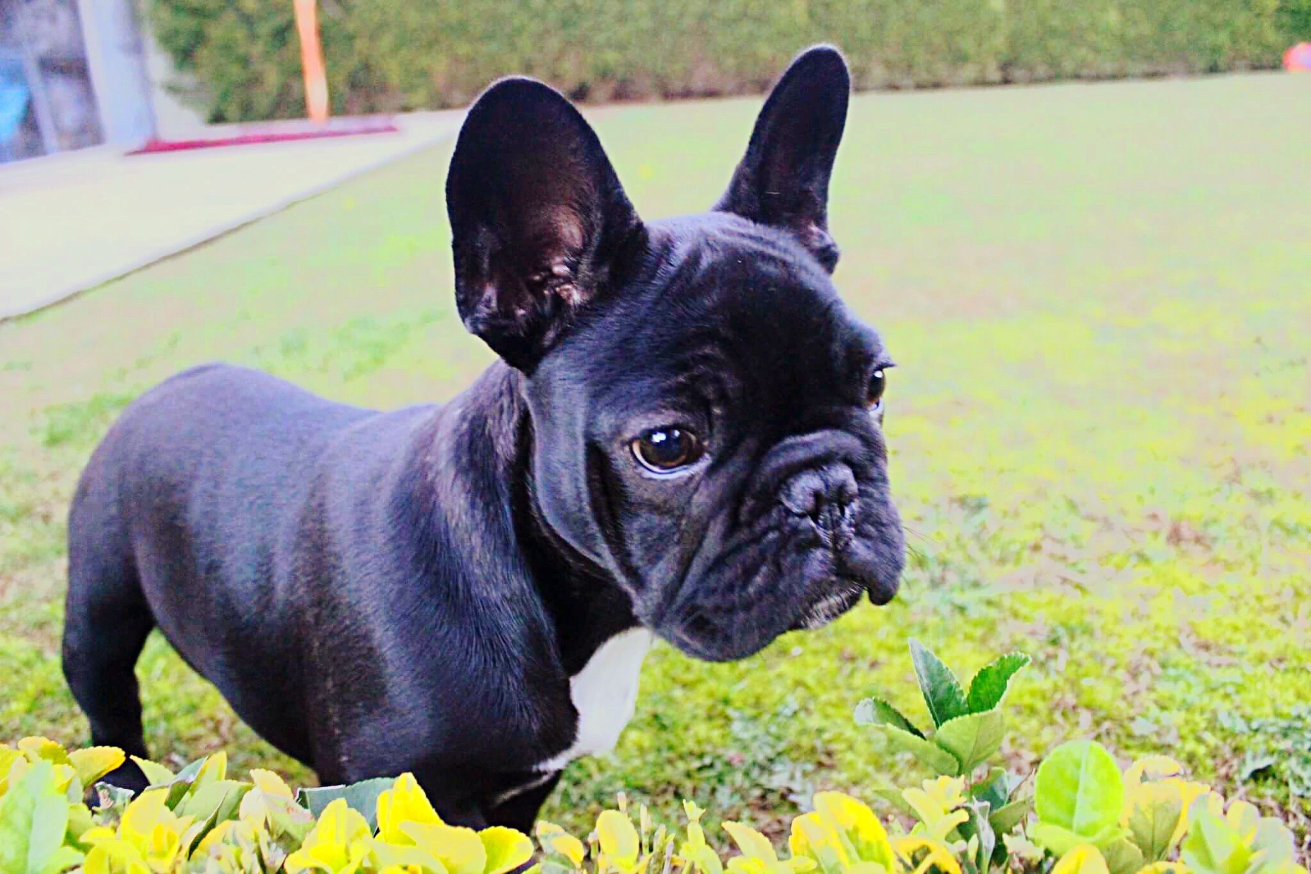 one animal, animal themes, pets, dog, mammal, domestic animals, french bulldog, grass, nature, outdoors, portrait, no people, day, boston terrier, close-up