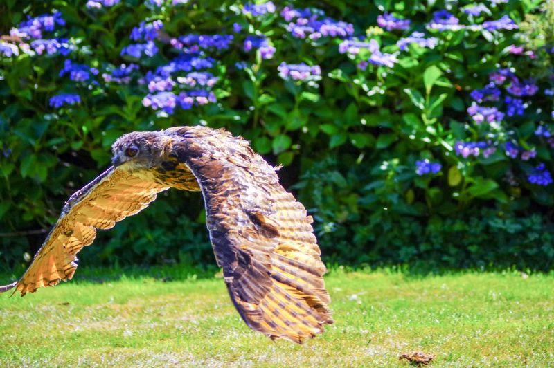 Eagle Owl Owl