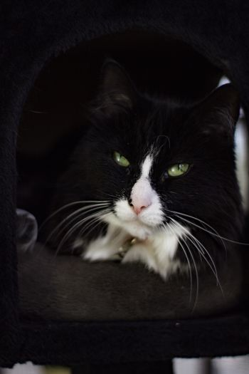 Tuxedo cat Cat