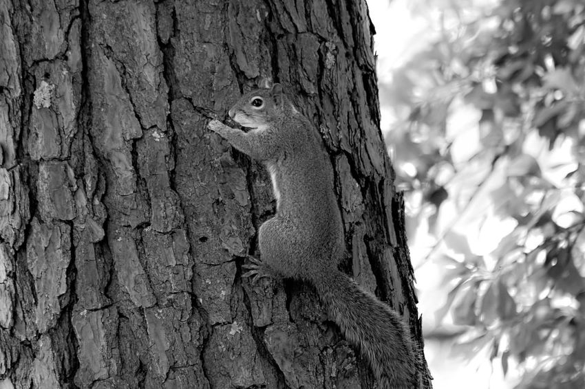 Animal Animal Head  Animal Themes Animal Wildlife Animals In The Wild Bark Bird Blackandwhite Photography Close-up Day Focus On Foreground Nature No People One Animal Outdoors Plant Plant Bark Rodent Squirrel Textured  Tree Tree Trunk Trunk Vertebrate Woodpecker