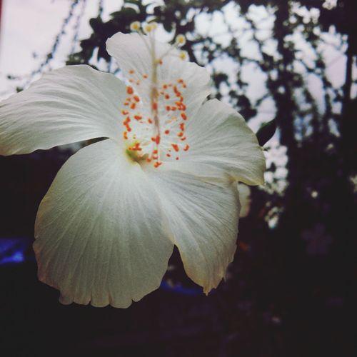 hibiscus.. First Eyeem Photo