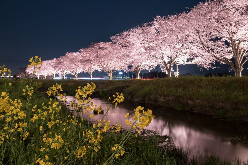 Japan Eyeem Spring EyeEm Flower Flowers My Favorite Place Cherry Blossoms Sakura