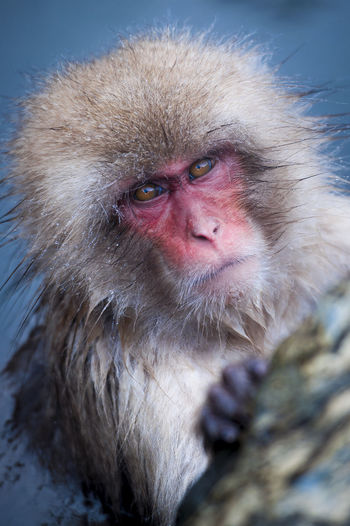 Portrait Of Japanese Macaque In Hot Spring