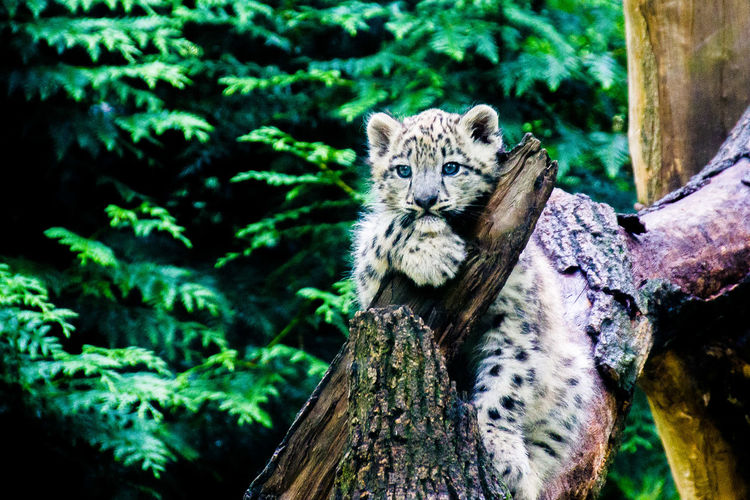 Snow leopard cub resting on tree