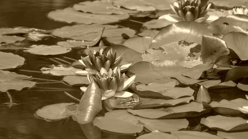 Frog and waterlily Waterlilypond Waterlilyphotography Flower Collection Petal Pond Plant Flower Head Summer Flower Growth EyeEm Nature Lover Outdoors Beauty In Nature Garden Flowers Tranquil Scene Freshness Scenics Fragility Sepia Photography Sepia_collection Frog Pond Animal Wildlife Animal Themes Animals In The Wild One Animal