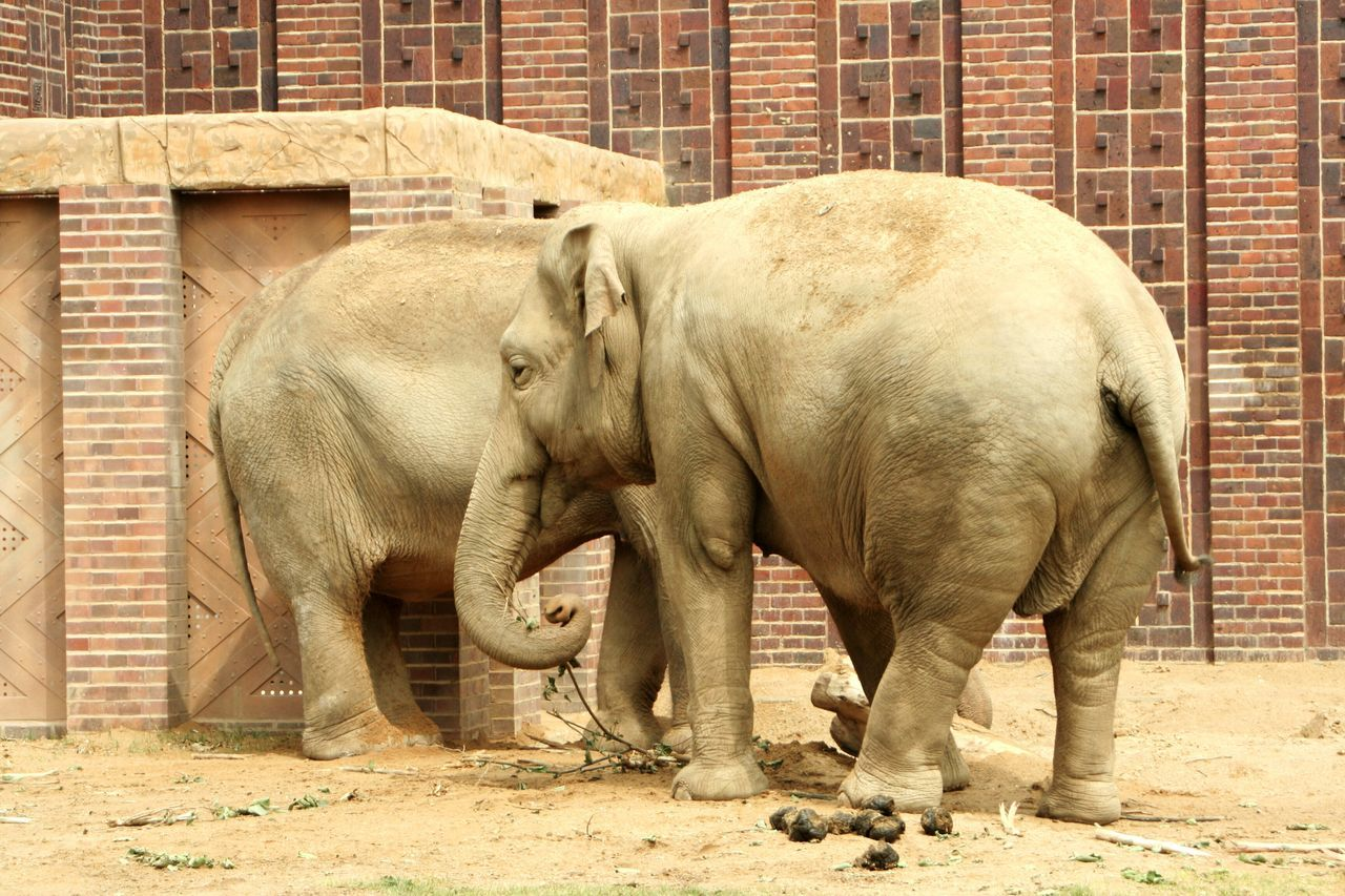 mammal, animal themes, animal, elephant, animal wildlife, group of animals, animals in the wild, vertebrate, zoo, animals in captivity, day, domestic animals, young animal, no people, architecture, standing, building exterior, full length, animal trunk, herbivorous, outdoors, brick, animal family