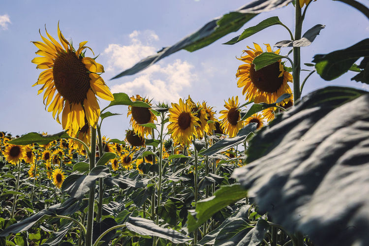 Flower Flowering Plant Plant Fragility Vulnerability  Growth Yellow Beauty In Nature Freshness Petal Flower Head Nature Close-up Inflorescence Sky Day Plant Part Sunflower No People Leaf Pollen Outdoors Pollination