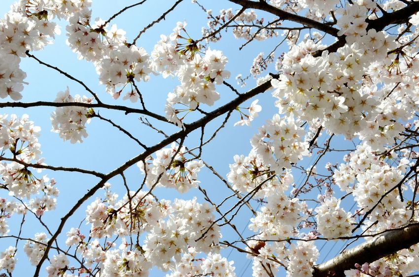 Urban Spring Fever Hanami Sakura  Cherry Blossoms Sakura Trees Spirituality Hugging A Tree Flower Cherry Blossom Sakura Blossom Quality Time Blossom Tree And Sky Branches And Sky The Great Outdoors With Adobe Adapted To The City