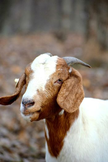 Close-up of goat on field
