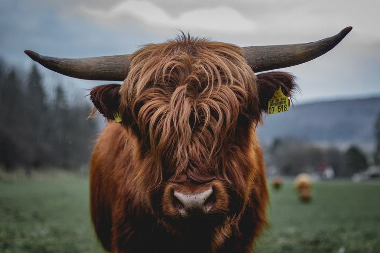 Portrait Looking At Camera Close-up Sky Highland Cattle Horned Domestic Cattle Cow Buffalo Grazing Livestock Tag Cattle Domesticated Animal Tag Livestock Farm Animal Bull - Animal Calf Herbivorous