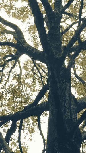 Giantoak Tree Trunk Nature No People Backgrounds Sunlight Rareurbanforest Awalkinthewild