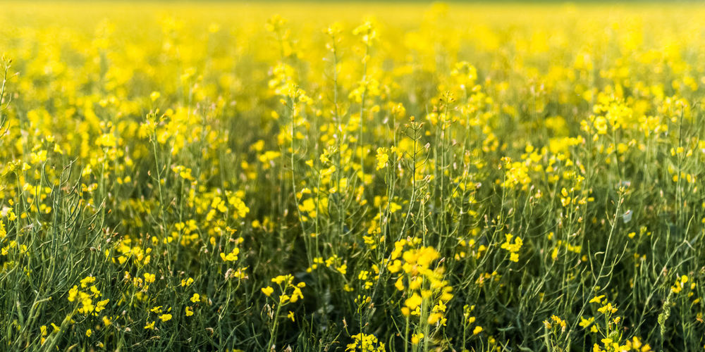 yellow in depth Petal Flower Head In Bloom Backgrounds Agriculture Cultivated Springtime Yellow Cereal Plant Oilseed Rape Mustard Plant Rural Scene Flower EyeEm Nature Lover Beauty In Nature Près De Gry