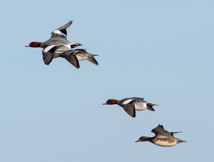 Wigeon in flight Anas Penelope RSPB Animal Themes Animal Wildlife Animals In The Wild Bird Duck Female Flying Male No People Saltholme Spread Wings Wigeon
