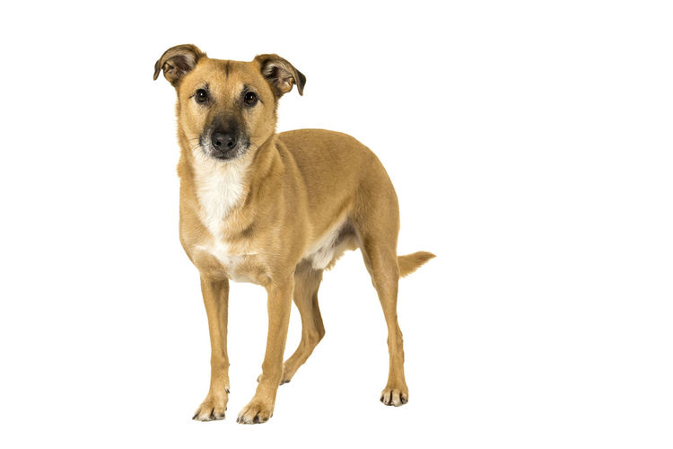 Little brown mixed breed dog standing sideways isolated in a white background looking at the camera One Animal Canine Animal Themes Dog Mammal Domestic Animals Pets Domestic Animal Portrait Studio Shot White Background Looking At Camera Vertebrate Standing Indoors  Copy Space No People Cut Out Full Length Mixed-breed Dog Standing Full Body