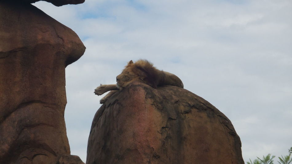 Lazy lion Zoology Lion Low Angle View Rock Formation Outdoors Lion Rock