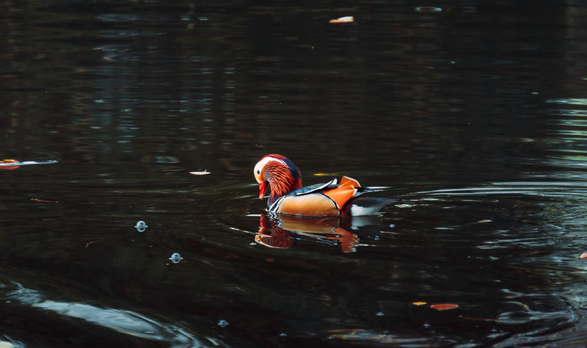 View of duck swimming on lake