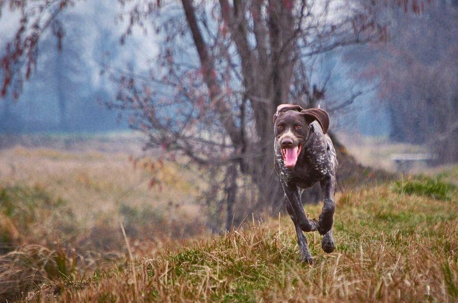 Eyes Happiness Happy Fast Wind Flying Dog Flying Running Hunter Nikonphotography Nikon Disk Dog Kurzhaar Training Hunting Dog One Animal Nature Mammal Land Field EyeEmNewHere Animal Outdoors Animal Themes First Eyeem Photo