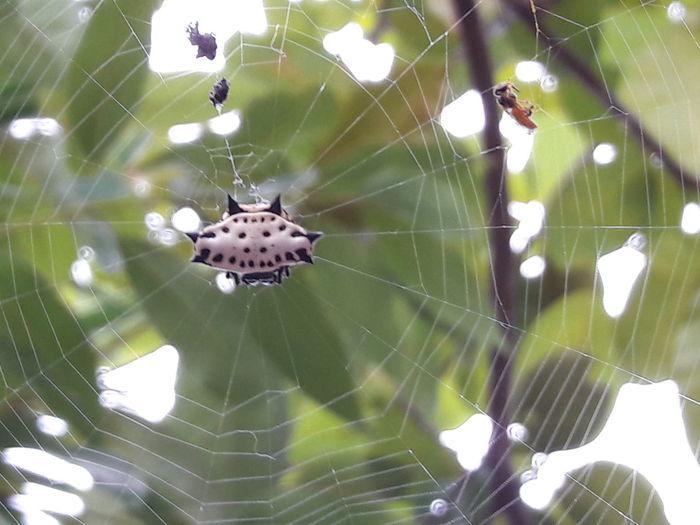 Gasteracantha Cancriformis. Araña Gasteracantha Cancriformis Araña Arañapanadera Arañacangrejo Spider Arachnid Aracnidos Arañasoldado Araneomorfa Likeforlike Like Followme Followforfollow Like4like Follow4follow