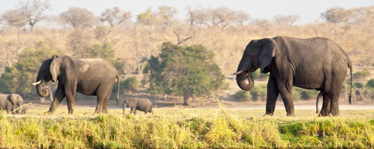 Botswana Chobe National Park Chobe River Africa African Elephant Animal Animal Themes Animal Trunk Animal Wildlife Animals In The Wild Beauty In Nature Day Elephant Grass Mammal Nature No People Outdoors Safari Safari Animals Tusk
