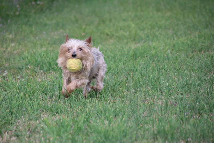 Yorkshire terrier running in the grass with a ball in his mouth
