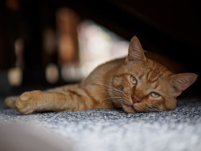 Portrait of ginger cat lying down