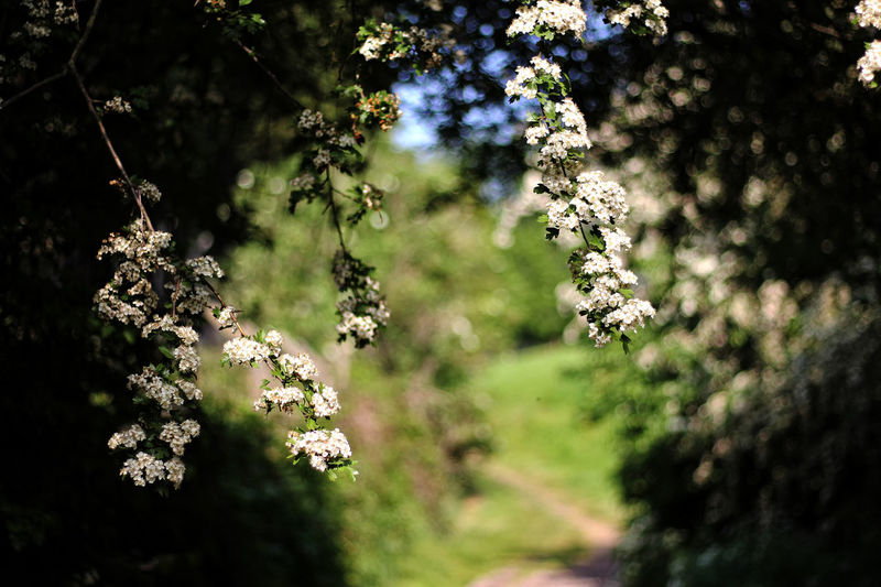 Country path. Beauty In Nature Blossom Branch Cherry Blossom Close-up Country Path Day Flower Flower Head Flowering Plant Focus On Foreground Fragility Freshness Growth Nature No People Outdoors Plant Selective Focus Spring Springtime Sunlight Tranquility Tree Vulnerability