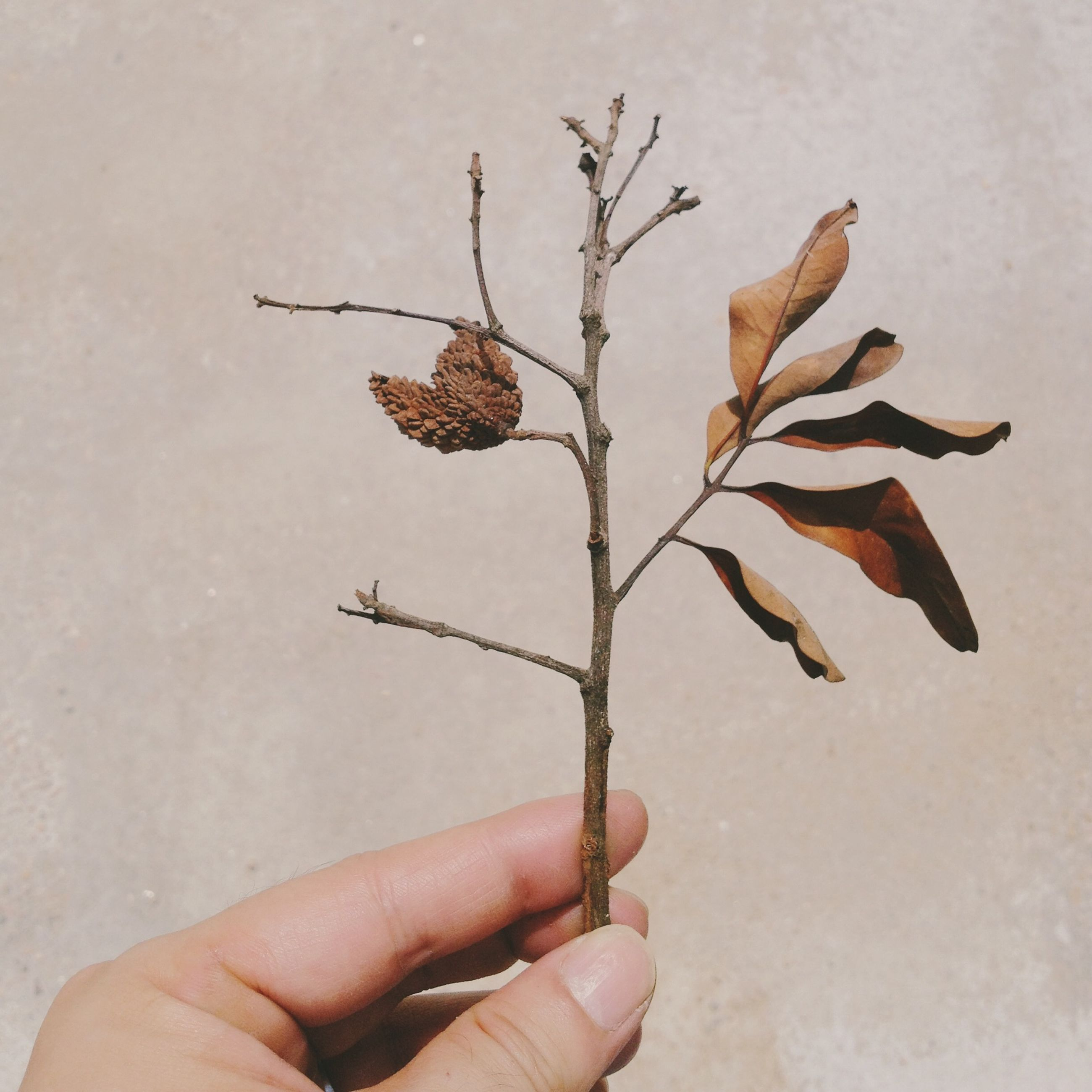 person, holding, leaf, part of, dry, close-up, cropped, human finger, stem, unrecognizable person, wall - building feature, nature, studio shot, fragility, flower, freshness, personal perspective