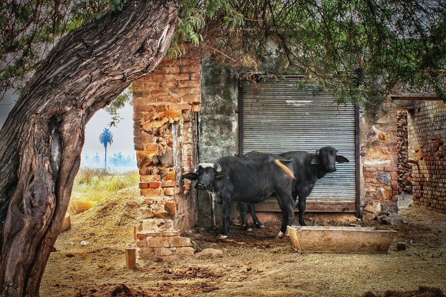 Tree Animal Themes Domestic Animals Livestock Beauty In Nature Outdoors Bucolic Landscape Shooting On The Move EyeEm The Best Shots Rural Scenes India Buffaloes Farm Animals Pet Portraits